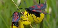 five and six spot burnets